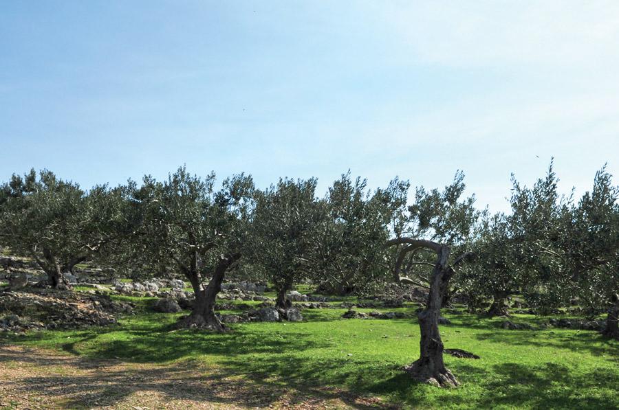 stabla-maslina