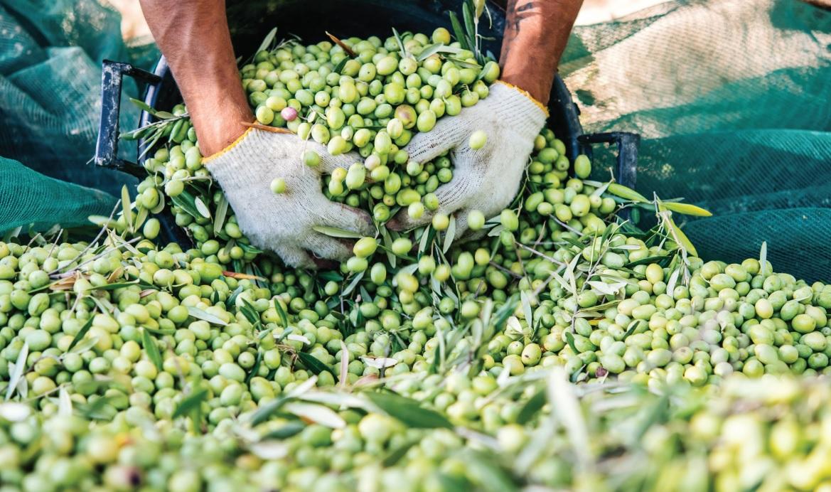 povecana-proizvodnja-maslinovog-ulja