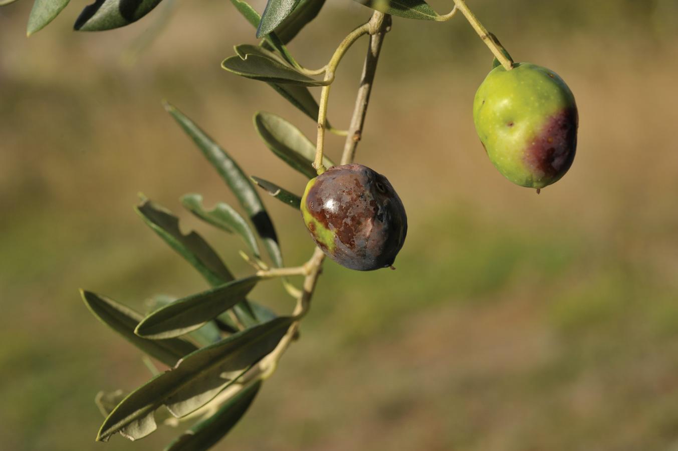 maslinina-muha