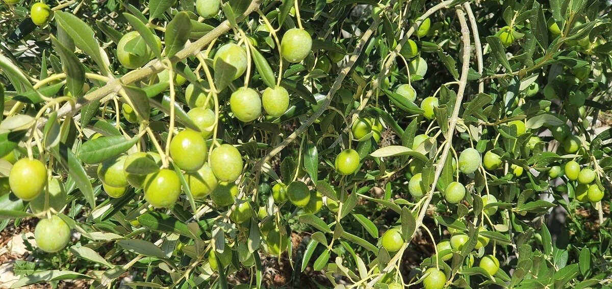 zdravi-plodovi-maslina-spremni-za-berbu